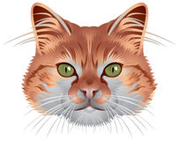 kot głowa Obraz Royalty Free