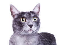 kot głowa ciekawa śliczna fotografia royalty free