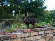 Kot gapi się przy kamerą na wszystkie fours zdjęcie royalty free