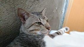 Kot Gapi się Naprzód Obrazy Royalty Free