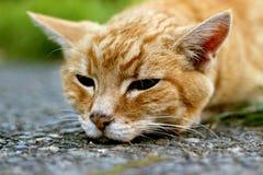 kot gnuśny Obraz Royalty Free