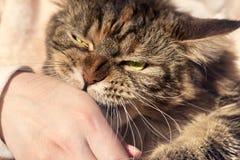 Kot gryźć jego rękę Fotografia Stock