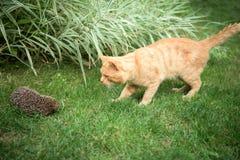 Kot i jeż fotografia royalty free