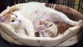 Kot i nowonarodzone figlarki Zdjęcia Stock