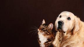 Kot i pies, siberian figlarka, golden retriever spojrzenia przy lewicą Zdjęcie Royalty Free