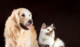 Kot i pies, szkockiego tortoiseshell biała prosta figlarka, golden retriever spojrzenia przy dobrem Zdjęcie Stock