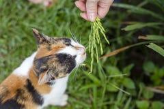 Kot je zielonego ryżu trzon w wyspie Bali, Indonezja Zdjęcia Stock