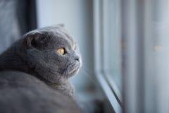Kot jest śliczny brytyjczycy shorthair zdjęcie stock