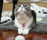Kot jest przyglądający dla jej przekąsek Fotografia Royalty Free