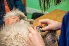 Kot jest rżniętymi gwoździami z specjalnymi forceps, weterynaryjna klinika, zwierzę domowe opieka fotografia stock