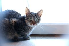 Kot jest zwierzęciem który zawsze chodzi swój swój ścieżki i ono no liczy się czy ja jest czystym kogutem lub zwyczajnym dacharze Zdjęcie Stock