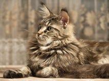 Kot kłama ampułę Obraz Royalty Free