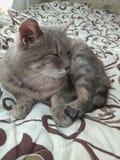 Kot kłama na łóżku Zdjęcie Royalty Free