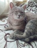 Kot kłama na łóżku Fotografia Stock