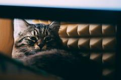 Kot kłama na stole Zdjęcia Stock