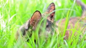 Kot kłama puszek na trawie w ogródzie zbiory wideo