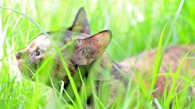 Kot kłama puszek na trawie w ogródzie zdjęcie wideo