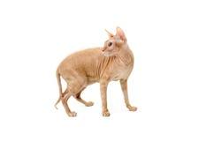 Kot, kanadyjczyk Sphynx, zakończenie up, odizolowywający na białym tle fotografia royalty free