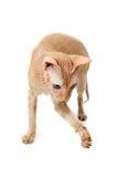 Kot, kanadyjczyk Sphynx, zakończenie up, odizolowywający na białym tle obrazy royalty free