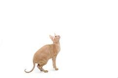Kot, kanadyjczyk Sphynx, zakończenie up, odizolowywający na białym tle zdjęcie stock