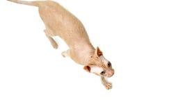 Kot, kanadyjczyk Sphynx, zakończenie up, odizolowywający na białym tle obraz stock