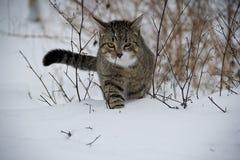 Kot, kolor żółty ono przygląda się, zima, śnieg, zimno, zwierzęta domowe, szara wełna, puszysty kot, głęboki śnieg Fotografia Royalty Free