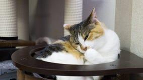 Kot liże jego łapy obsiadanie w jego zabawce Fotografia Stock