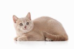 kot Mała czerwona kremowa brytyjska figlarka na białym tle Fotografia Royalty Free