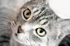 Kot miłość Zdjęcia Stock