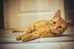 kot śmieszne zdjęcie royalty free
