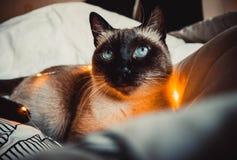 Kot na białym łóżku obrazy stock