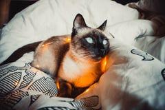 Kot na białym łóżku obraz royalty free
