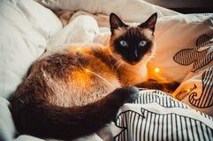 Kot na białym łóżku zdjęcia royalty free