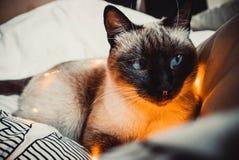 Kot na białym łóżku zdjęcie royalty free