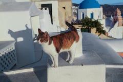 Kot na ścianie santorini greece Fotografia Stock