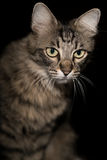 Kot na czarnym tle Obrazy Stock