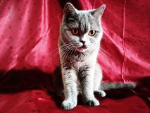 Kot na czerwonym tle Fotografia Royalty Free