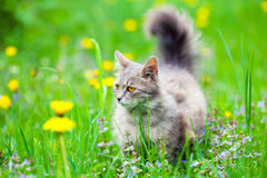 Kot na dandelion łące Obrazy Stock