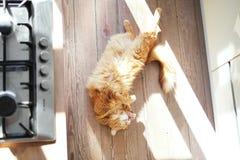 Kot na drewnianej podłoga Obraz Royalty Free