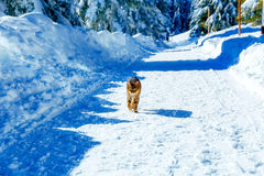 Kot na drodze w halnym zima krajobrazie Kontakt wzrokowy obraz stock