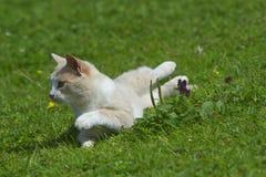 Kot na gazonie Obraz Royalty Free