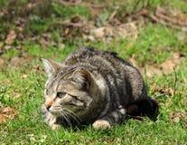 Kot na grasującym Fotografia Royalty Free