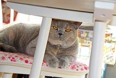 Kot na krześle pod stołem Zdjęcia Royalty Free