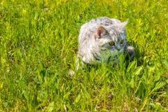 Kot na zielonej trawie Fotografia Royalty Free