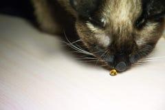 Kot obwąchuje na medycyny kapsule obraz royalty free