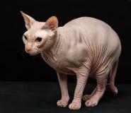 Kot Odizolowywający na czerni traken Sphynx zdjęcia stock