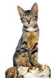 kot odizolowywający fiszorka drzewo Zdjęcie Royalty Free