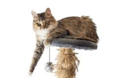 Kot, odpoczynkowy kot na kanapie w tle, śliczny śmieszny kota zakończenie up, młody figlarnie kot na łóżkowym, domowym kocie, Fotografia Royalty Free