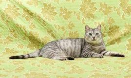 Kot, odpoczynkowy kot na kanapie w zielonym tle, śliczny śmieszny kota zakończenie up, młody figlarnie kot na łóżkowym, domowym k Fotografia Stock