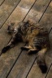 kot odprężona Obrazy Royalty Free